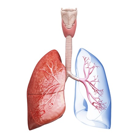 oxygenated: Human lungs, artwork