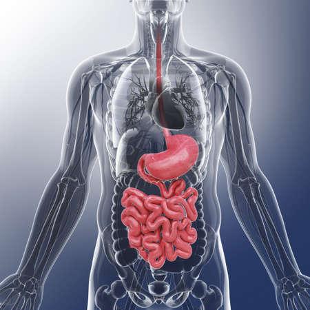 Human digestive system, artwork