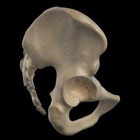 pubis: Human hip bone, artwork