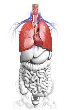intestino grueso: Sistema respiratorio humano, obra