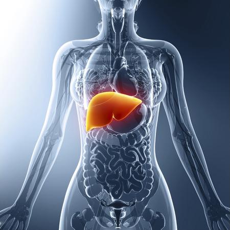 Human liver, artwork