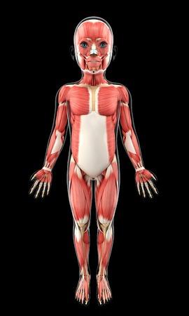 Childs muscular system, artwork