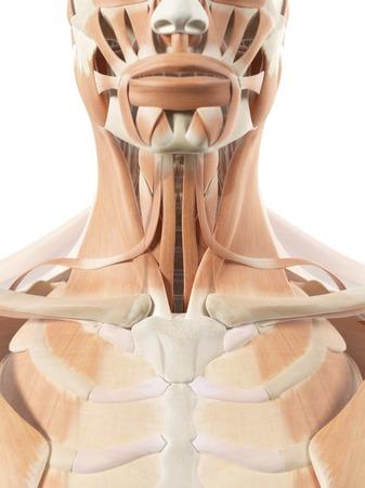 Human throat muscles, artwork LANG_EVOIMAGES