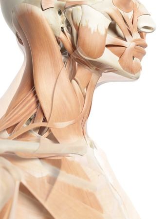 Human neck muscles, artwork