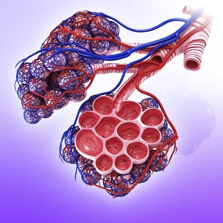 alveolos: Alvéolos humanos, obras de arte