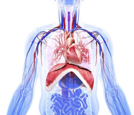 respiratory tract: Human respiratory system, artwork
