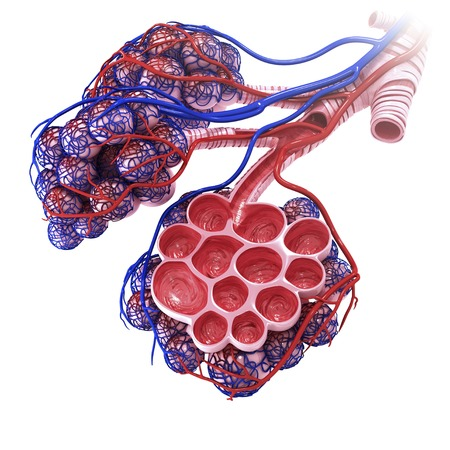 respiration: Human alveoli, artwork