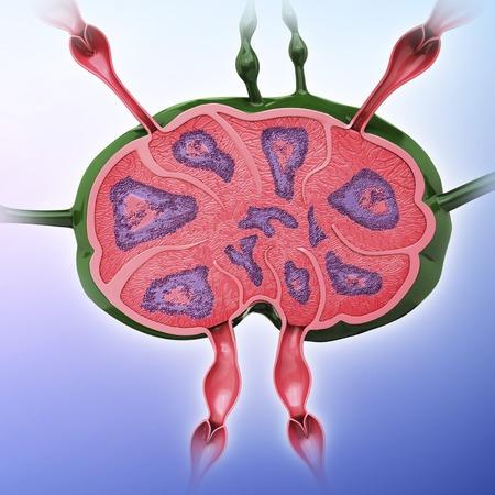 lymph: Human lymph node, artwork LANG_EVOIMAGES