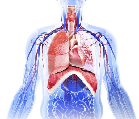 intestino grueso: sistema cardiovascular humano, obras de arte