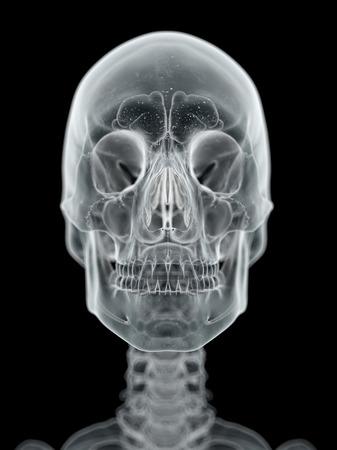 Human skull, artwork LANG_EVOIMAGES