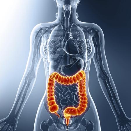 rectum: Human digestive system, artwork