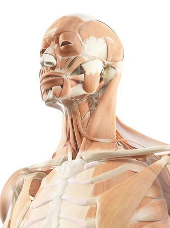 Head and neck muscles, artwork LANG_EVOIMAGES