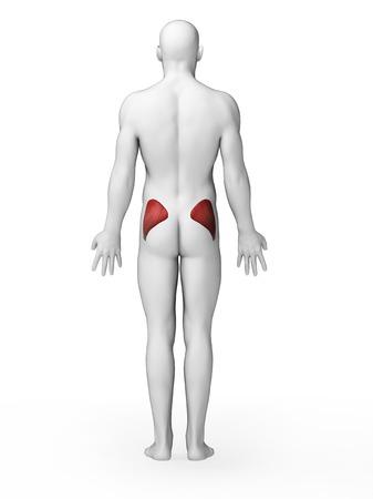 Human buttock muscles, artwork LANG_EVOIMAGES