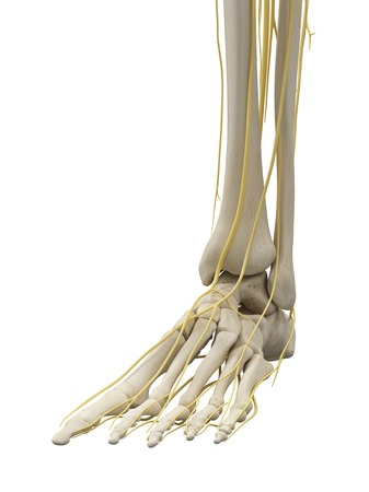 phalanges: Foot bones and nerves, artwork