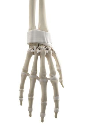 Mano humana tendones, obras de arte LANG_EVOIMAGES