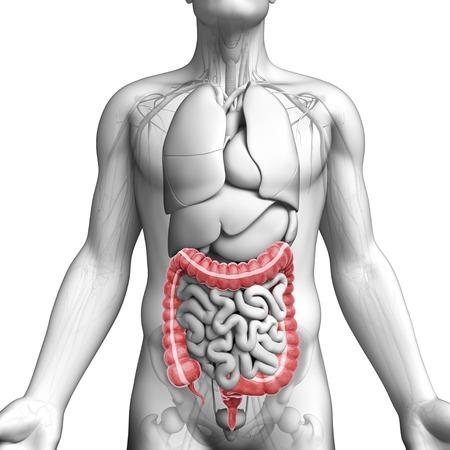 descending colon: Male anatomy, artwork