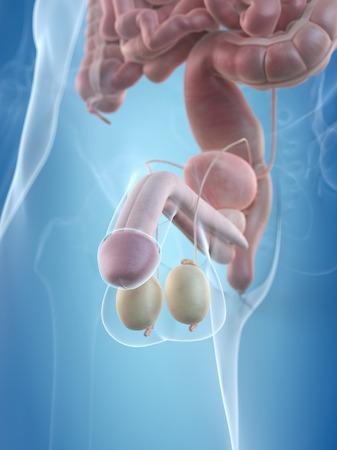 testes: Human penis, artwork