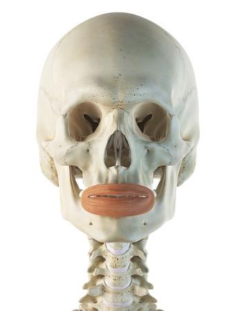 Facial muscle, artwork LANG_EVOIMAGES