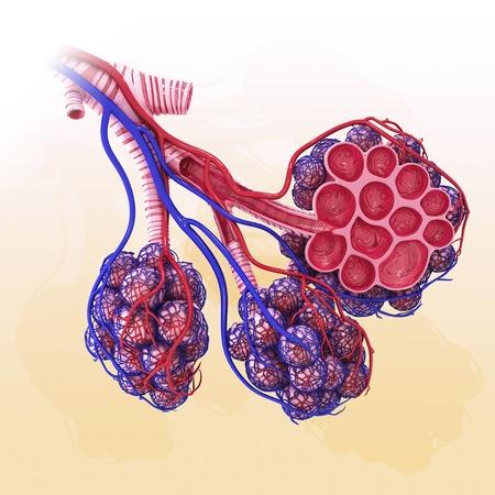 oxygenated: Human alveoli, artwork