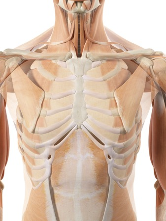 thoracic: Thoracic muscles, artwork