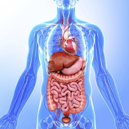 rectum: Human internal organs, artwork