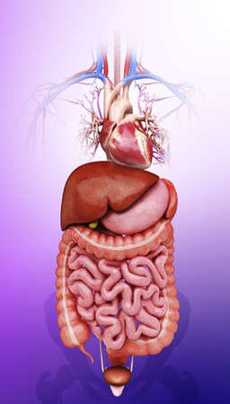 sigmoid colon: Human internal organs, artwork