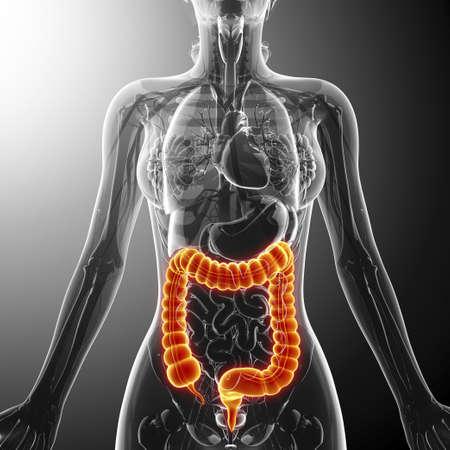 descending colon: Large intestine, artwork