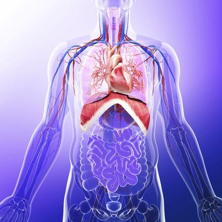 intestino grueso: Human respiratory system, artwork