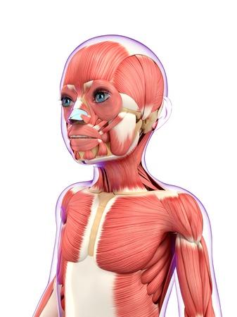 Muscular system, artwork LANG_EVOIMAGES
