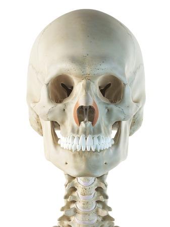 Facial muscles, artwork