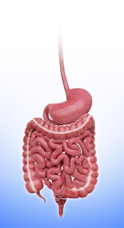 descending colon: Human stomach, artwork