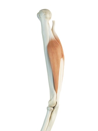 Triceps muscle, artwork LANG_EVOIMAGES