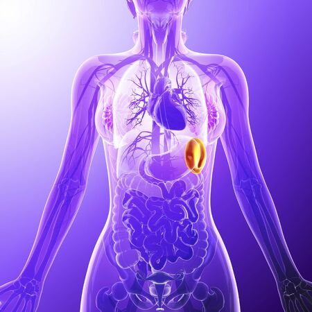 rectum: Human spleen, artwork LANG_EVOIMAGES