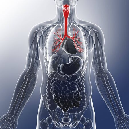 respiratory tract: Human throat, artwork