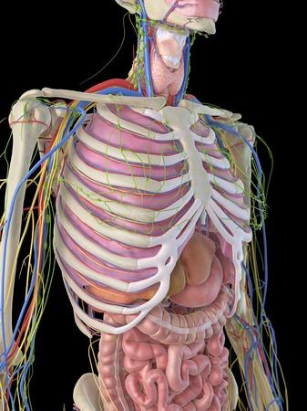 ribcage: Human ribcage and organs, artwork LANG_EVOIMAGES