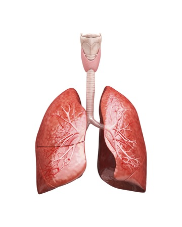 respiration: Human lungs, artwork