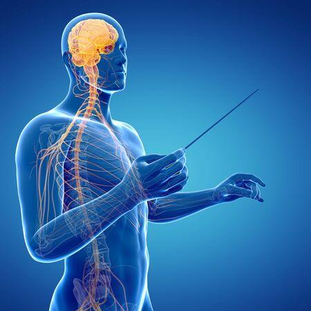 baton: Male nervous system, artwork LANG_EVOIMAGES