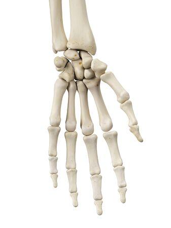 proximal: Human hand bones, artwork