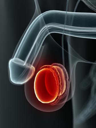 testes: Human testes, artwork