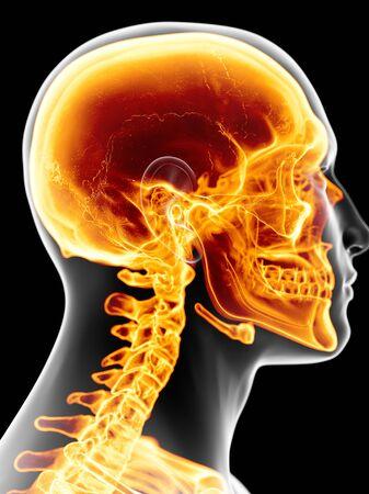 Skull and neck, artwork LANG_EVOIMAGES