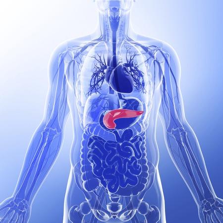 Human pancreas, artwork