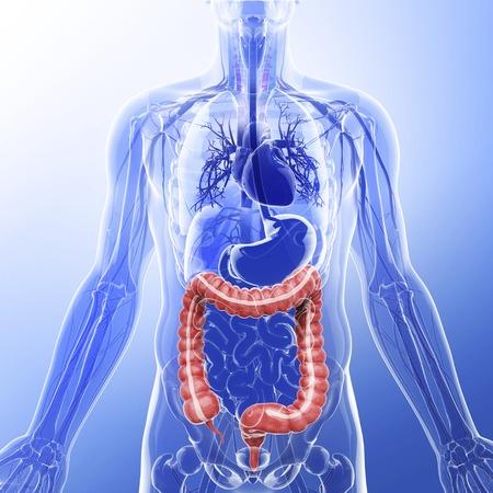 descending colon: Human digestive system, artwork