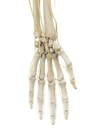 proximal: Hand bones and nerves, artwork