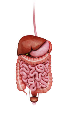 sigmoid colon: Human digestive system, artwork