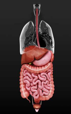 esofago: Human internal organs, artwork