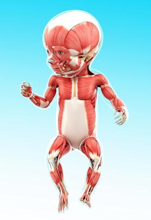 Babys muscular system, artwork