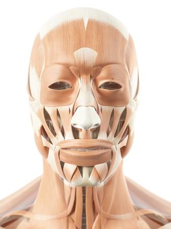 Human facial muscles, artwork LANG_EVOIMAGES