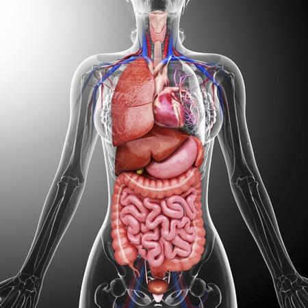 intestino grueso: órganos internos humanos, obras de arte LANG_EVOIMAGES