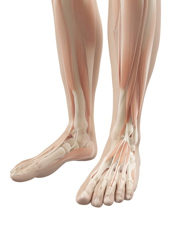 phalanges: Human foot muscles, illustration