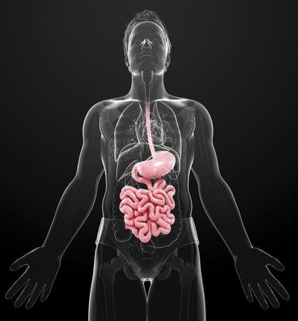 small intestine: Human digestive system, computer artwork